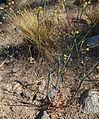 Eriogonum inflatum inflated-stem desert trumpet.jpg