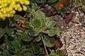 Eriogonum umbellatum 3362.JPG