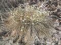 Eriophorum vaginatum Blüte1.jpg