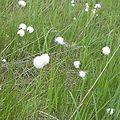 Eriophorum vaginatum Kiritappu wetland02.jpg
