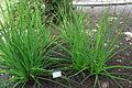 Eryngium paniculatum Jardín botánico de Valencia 01.JPG