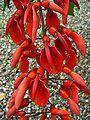 Erythrina crista-galli 001.JPG