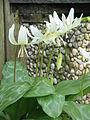 Erythronium 'White Beauty' clump.jpg
