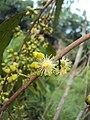 Eucalyptus camaldulensis 06.JPG