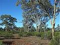 Eucalyptus intertexta.jpg