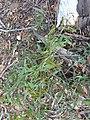 Eucalyptus mannifera 4.jpg
