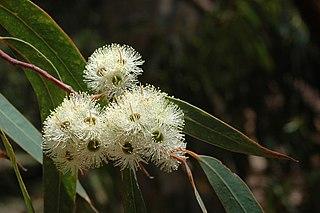 <i>Eucalyptus planchoniana</i> Species of eucalyptus