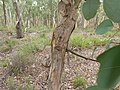 Eucalyptus polyanthemos bark 1.jpg