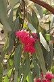 Eukalyptus tree (41968068235).jpg