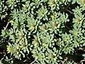 Euphorbia balsamifera (Garafía) 05.jpg