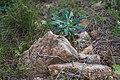 Euphorbia characias, Sète 05.jpg