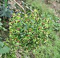 Euphorbia characias.jpg