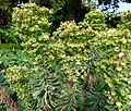 Euphorbia characias Jardin des Plantes 2.JPG