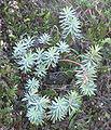 Euphorbia glauca.jpg
