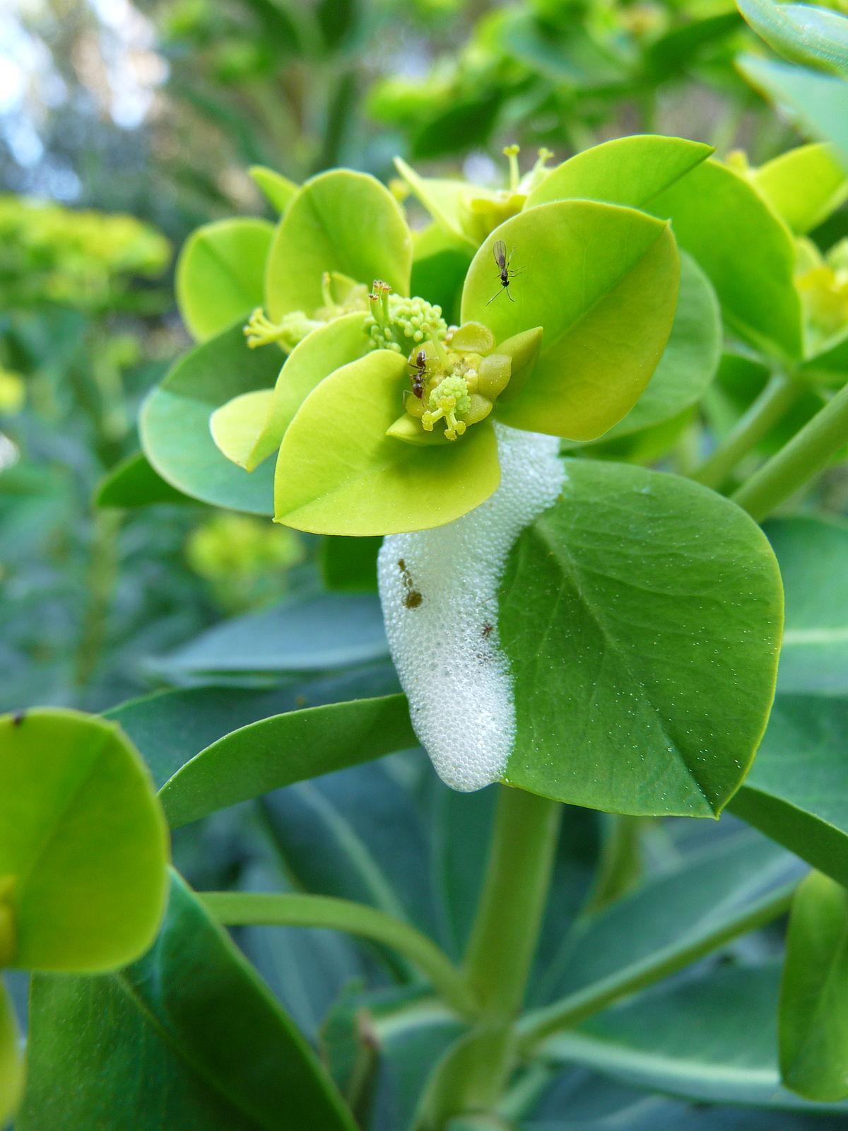Euphorbia Margalidiana Wikipedia