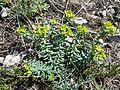 Euphorbia seguieriana sl7.jpg