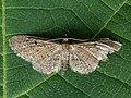 Eupithecia denotata - Campanula pug - Цветочная пяденица колокольчиковая (40943844401).jpg