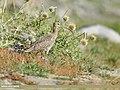 Eurasian Curlew (Numenius arquata) (50792479882).jpg