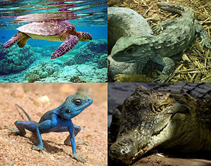 Vertreter von vier rezenten Reptiliengroßgruppen: Oben links: Grüne Meeresschildkröte (Chelonia mydas), eine der wenigen vollmarinen rezenten Reptilienarten. Oben rechts: Brückenechse (Sphenodon punctatus). Unten links: Sinai-Agame (Pseudotrapelus sinaitus). Unten rechts: Nilkrokodil (Crocodylus niloticus).