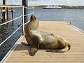 FAL-2016-Stanley, Falkland Islands–Antarctic fur seal (Arctocephalus gazella).jpg