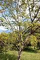 Fabales - Leucaena leucocephala - 2.jpg