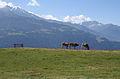 Falera Cows 3.JPG