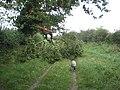 Fallen oak branch - geograph.org.uk - 532491.jpg