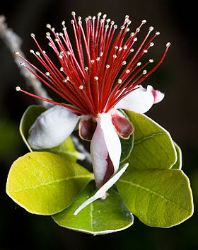 Feijoa sellowiana.jpg
