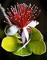 Feijoa sellowiana.jpg