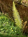 Fern Luxulyan Valley - geograph.org.uk - 418962.jpg