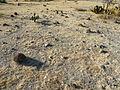 Ferocactus recurvus (5740393378).jpg
