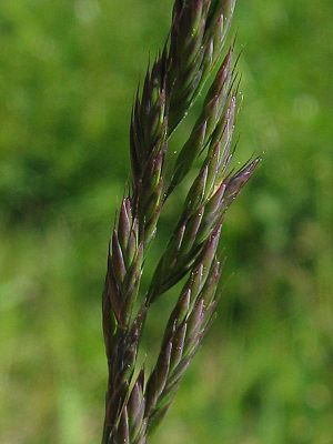 Festuca rubra - Spikelets and flowers