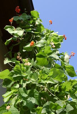 Fire bean (Phaseolus coccineus)