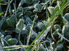 Feuilles-avec-glace-leaves-with-ice-1.jpg