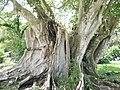 Ficus religiosa 02 by Line1.JPG