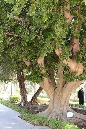 Ficus retusa - Free-standing Ficus retusa tree