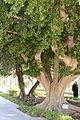 Ficus retusa - parc El Harti - Marrakesh.JPG
