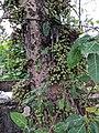 Ficus sp 7.jpg