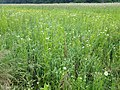 Filago vulgaris sl246.jpg