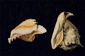 Filippo Napoletano - Image: Filippo Napoletano Two Shells WGA16433