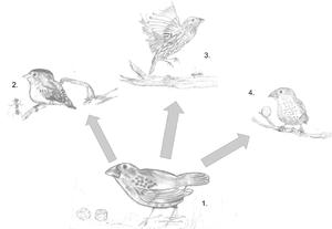 Darwin's finches - Image: Finchadaptiveradiati on