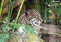 Fischkatze (Prionailurus viverrinus).jpg