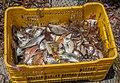 Fish in El Manglillo b.jpg