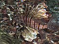 Fish in the Res Sea - panoramio.jpg