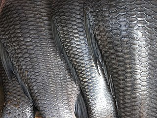 Fish scale Rigid covering growing atop a fishs skin