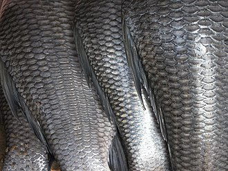 Fish scale - Image: Fish scales