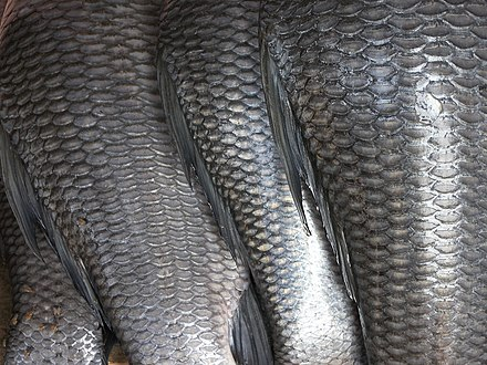Cycloid scales covering rohu Fish scales.jpg