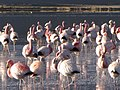 Flamingos closeup (4320868636).jpg