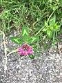 Fleur de trèfle commun, avenue du Mas Rolland à Saint-Maurice-de-Beynost.jpg