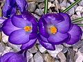 Fleurs de Crocus à Grez-Doiceau 002.jpg